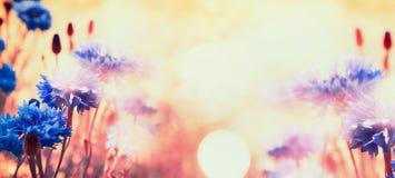 在太阳的可爱的矢车菊发光,花卉自然背景 免版税图库摄影