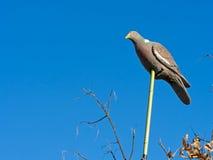 在太阳的塑料诱饵鸽子,寻找的 免版税图库摄影