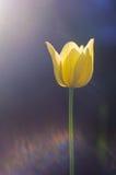 在太阳的强光的明亮的黄色郁金香在一深蓝backg的 免版税库存图片