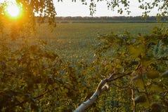 在太阳的日落光的美好的向日葵领域 免版税库存照片