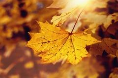 在太阳的秋叶点燃并且弄脏了树,选择聚焦 库存照片
