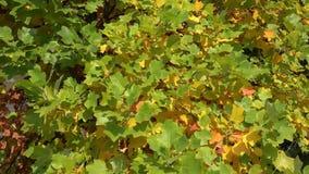 在太阳的秋叶 在秋天结构树的叶子 股票录像