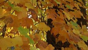 在太阳的秋叶 在秋天结构树的叶子 影视素材
