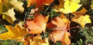 在太阳的秋叶 免版税图库摄影