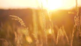 在太阳的背景的麦子 影视素材