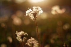 在太阳的蒲公英 免版税库存照片