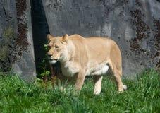 在太阳的雌狮 库存图片