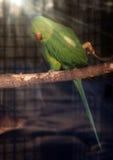 在太阳的绿色鹦鹉Psittacula krameri发出光线回顾 免版税库存照片