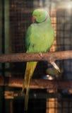 在太阳的绿色鹦鹉Psittacula krameri发出光线看c 库存照片