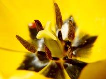 在太阳背景下的开放黄色郁金香 免版税库存照片