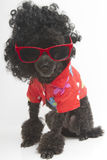 在太阳镜和夏威夷衬衣的长卷毛狗 库存图片