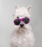 在太阳镜的髯狗画象 免版税图库摄影