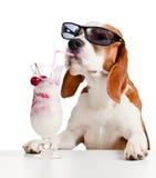 在太阳镜饮料鸡尾酒的逗人喜爱的狗 库存图片