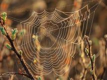 在太阳阐明的分支的蜘蛛网 免版税图库摄影