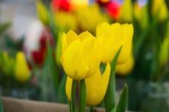 在太阳lightsun光下的黄色郁金香群的下黄色郁金香群 免版税库存照片