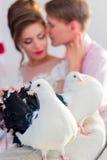 在夫妇的背景的婚礼鸠 免版税图库摄影