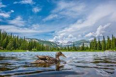 在失去的湖科罗拉多的野鸭鸭子 免版税图库摄影