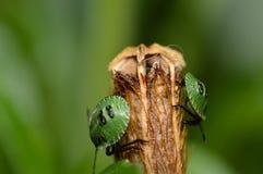 在头状花序的绿色臭虫 库存照片