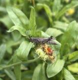 在头状花序的蚂蚱 库存照片