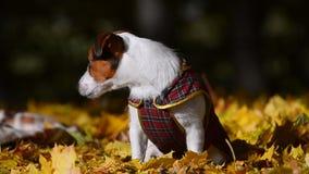 在夹克的逗人喜爱的小狗 影视素材