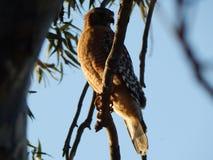 在夹竹桃树枝栖息的红被盯梢的鹰 库存图片