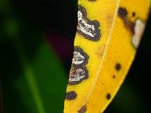在夹竹桃的霉菌叶子斑点 库存照片