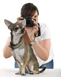 在奇瓦瓦狗摄影师之后 库存图片