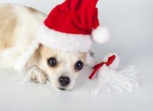 在奇瓦瓦狗狗头的红色圣诞老人帽子 库存图片
