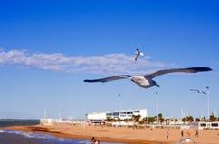 在奇皮奥纳的海鸥 免版税库存图片