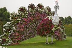 在奇迹庭院的孔雀在迪拜 库存图片