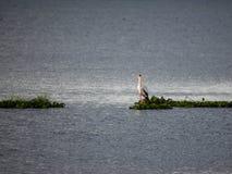 在奈瓦沙湖的一只黄色开帐单的鹳,地堑,肯尼亚 免版税库存照片