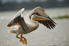在奈瓦沙湖的巨大白色鹈鹕飞行 免版税库存照片