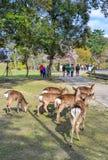 在奈良公园日本的野生鹿 库存图片