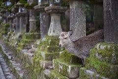 在奈良公园的鹿 库存照片
