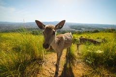 在奈良的鹿在日本 库存图片