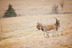 在奔跑的两头驴 免版税库存图片