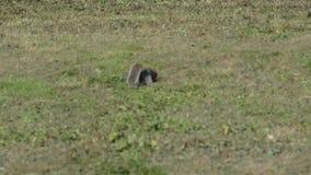 在奔跑的灰色灰鼠