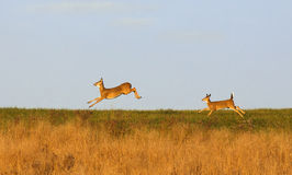 在奔跑的白尾鹿 图库摄影