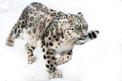 在奔跑的雪豹 免版税库存图片
