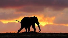 在奔跑的非洲大象在日落 免版税库存图片