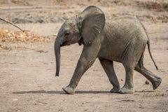 在奔跑的婴孩大象 库存照片