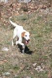 在奔跑的Istrian短发猎犬 免版税库存图片