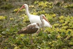 在奥兰多沼泽地的少年和成人白色朱鹭停放 库存图片