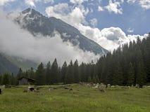 在奥地利山的母牛 库存照片