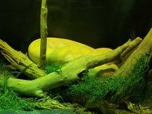 在奥斯汀水族馆的黄色蟒蛇 免版税库存照片