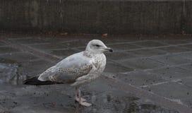 在奥斯陆中央背景的海鸥 免版税库存图片