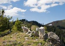 在奥林匹克国家公园照顾步行沿着向下飓风小山的保姆山羊在华盛顿州 免版税库存照片