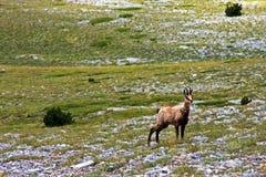 在奥林匹斯山的野山羊 库存图片