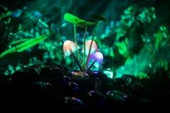 在奥秘黑暗的森林特写镜头的三个幻想发光的蘑菇 不可思议的蘑菇美丽的宏观射击或三灵魂在ava丢失了 免版税图库摄影
