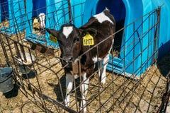 在奶牛场的逗人喜爱和滑稽的黑白小牛 免版税库存照片